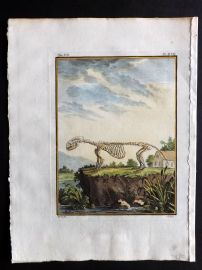 Buffon 1768 Antique Hand Col Print. Rodent Skeleton 7-17